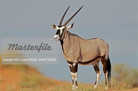 Gemsbok antelope (Oryx) on dune, Kalahari, South Africa
