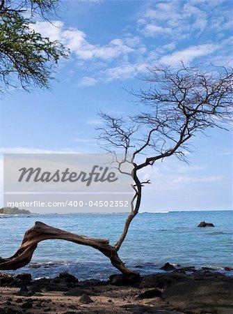 Single gnarled tree overlooking blue bay on Hawaii