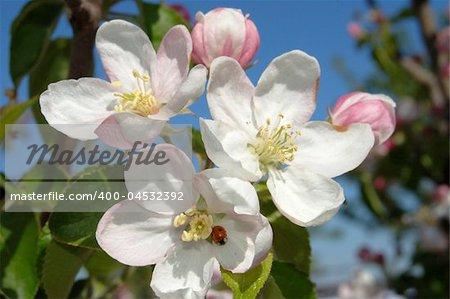 apple-tree flower of pink color on blue sky