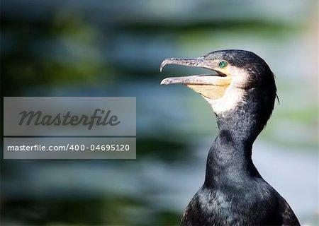 An image of a beautiful cormorant bird