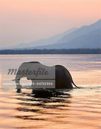 Sundown. Elephant on the river Zambezi.