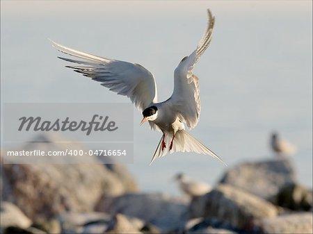 Bird, widely swinging wings, has stiffened in air before landing.