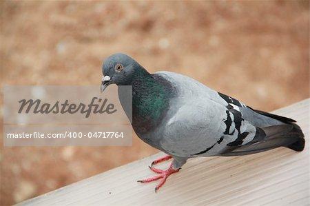 Close-up of walking pigeon
