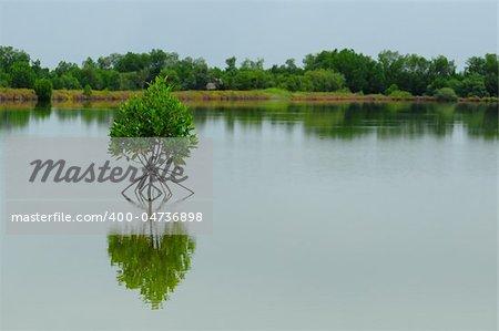 Little mangrove tree