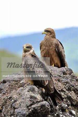 Black Kite (Milvus migrans.) Two Black kites sit on a stone, a green grass.