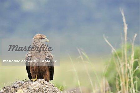 Black Kite (Milvus migrans.) Bird of prey Black Kite, sitting on a stone, it is wide opened  a beak.