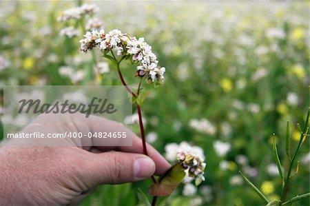 Man's hand holding buckwheat flower in field