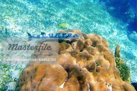 Barracuda fish over coral reel in Mayan Riviera underwater