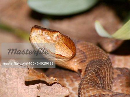 Venomous Copperhead (Agkistrodon contortrix) snake at Monte Sano State Park in Alabama.