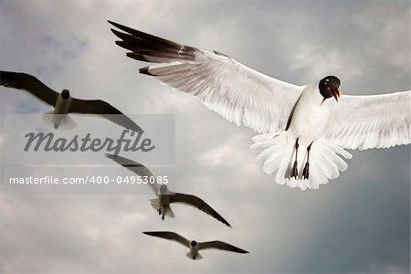 Seagulls in flight.