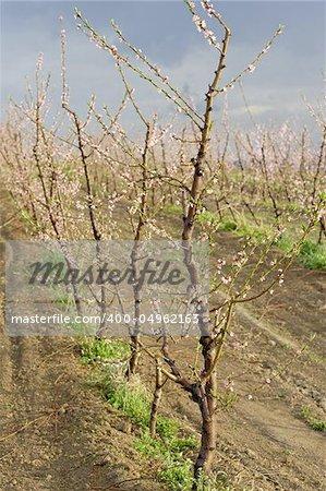 peach blossom in orchard
