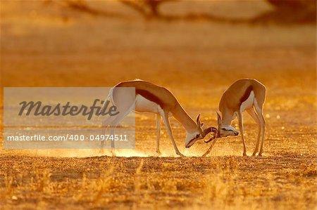 Two male springbuck fighting for territory, Kalahari, South Africa