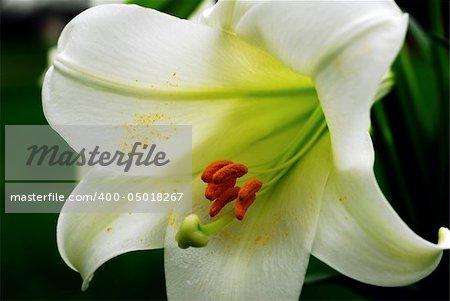 Amaryllis Flower and Pollen