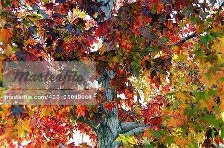 Leaf Fall Season Maple