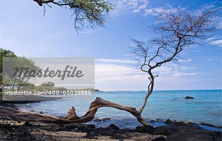 Hawaiian Beach framed by a single gnarled tree