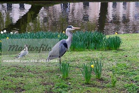 Heron and black-headed gull in Regent's Park, London - England.