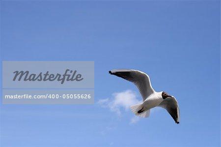 A blackheaded gull in for landing