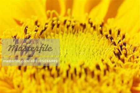 Macro close up shot of centre of sunflower Helianthus annuus