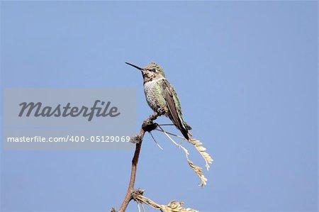 Annas Hummingbird (calypte anna) perched  with a blue sky background