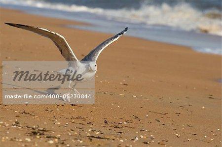 Seagull on a sand beach ready to fly