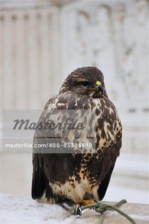 wild hawk eagle bird closeup predator wildlife