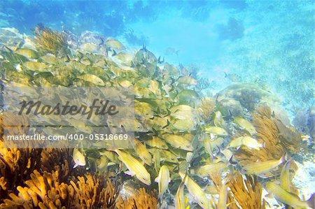Caribbean sea reef yellow Grunt fish school Mayan Riviera mexico Haemulon flavolineatum