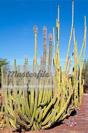 Image of an Organ Pipe cactus in Arizona