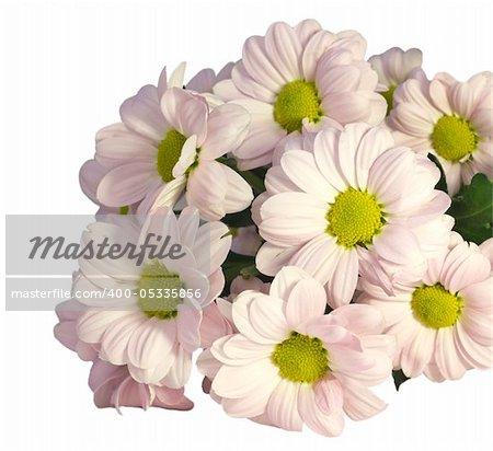 beautiful pink chrysanthemum on a white background