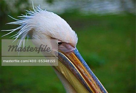 Pelican head shot