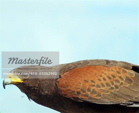 stunning bird of prey