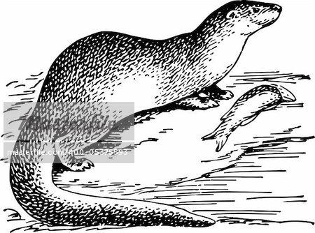 Otter isolated on white