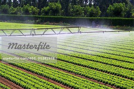 Water irrigation mist over green salad field