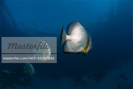 A close up on Batfish, Ras Um Sid, Egypt