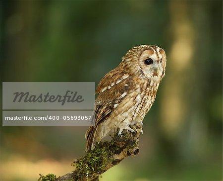 Portrait of a Tawny Owl in woodland