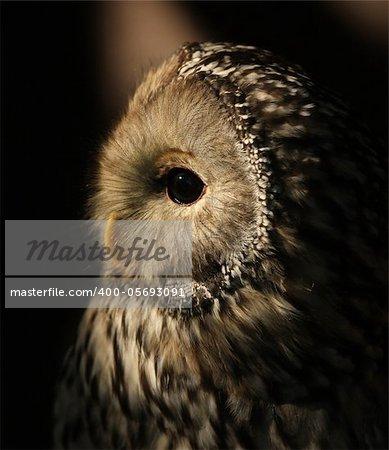 Portrait of a Ural Owl