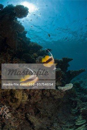 Moorish Idol making their way through the reef, Dahab, Egypt