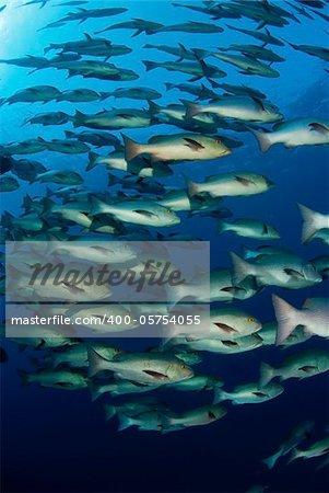 A school of  snapper fish exploring the ocean, Egypt