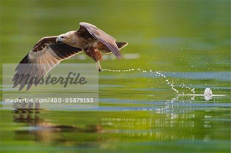 photo of brahminy kite hunting in the lake