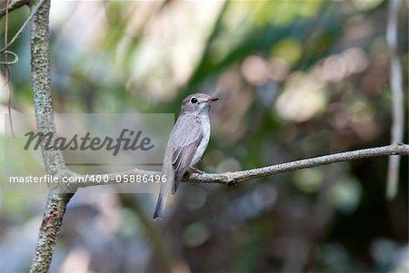 beatiful asian brown flycatcher(Muscicapa dauurica)