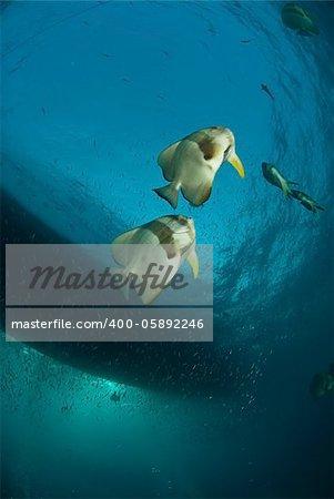 Batfish swimming near a boat, Thistlegorm, Egypt