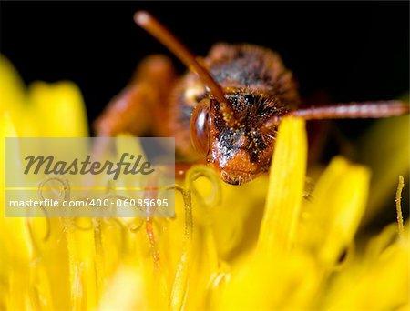 Cucco bee a early spring morning close to Castelvetro