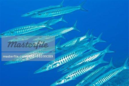 Large shoal of blackfin barracuda underwater