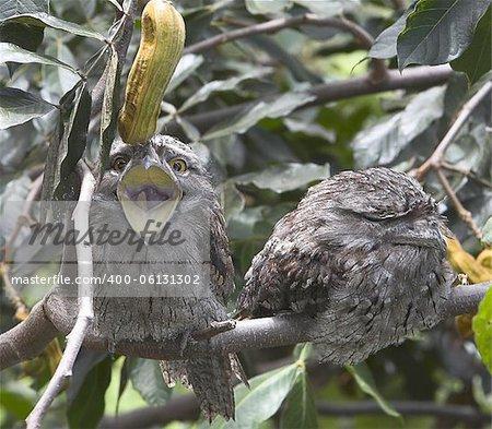 Tawny Frogmouth Owl yawning