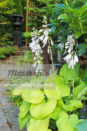 Hostas with Flowers Blooming Along Garden Path Walkway