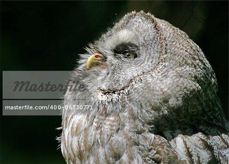 Portrait of a Westrn Screech Owl