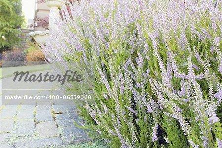 Heather Plants Flowers Blooming Along Pavers Walkway Closeup