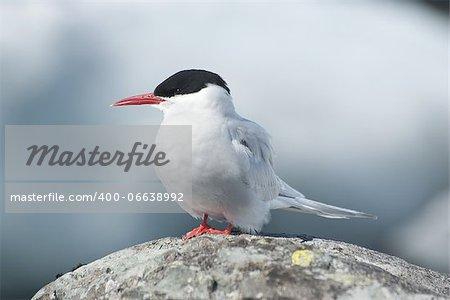 Antarctic tern sitting on a rock.