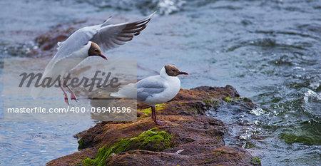Black-headed Gull (Chroicocephalus ridibundus) sitting on a rock in the river.
