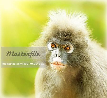 Dusky Leaf Monkey, close up portrait of a cute monkey face, animals environment, langur in wild nature, wildlife safari travel, Monkeyland, South Africa