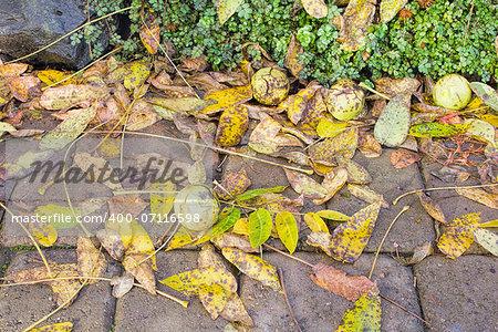 Fallen Black Walnut Tree Leaves and Fruits in Garden Backyard in Autumn